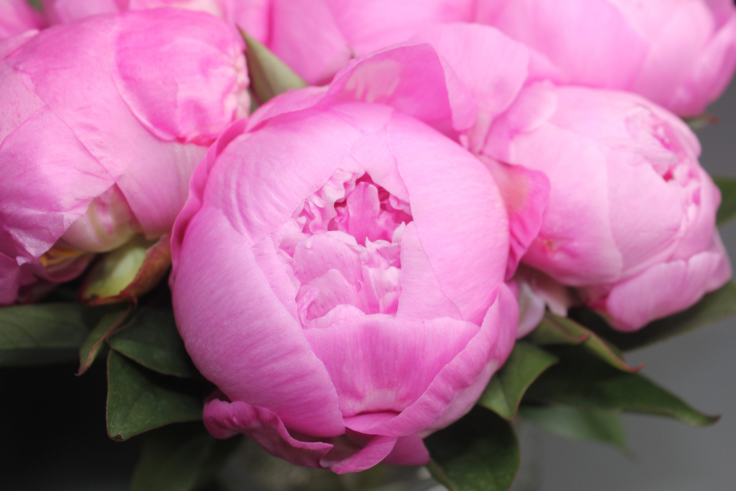 pink-peony-roses-with-vase
