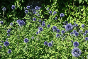 Blue Natural Dried Globe Thistle Echinops