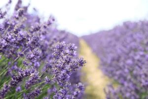 Natural Fragrant Lavender