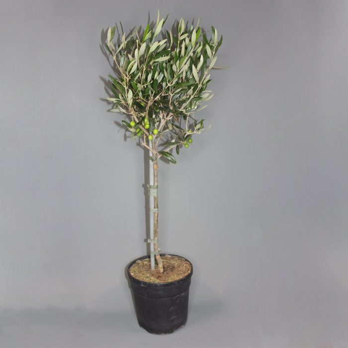 olive-tree-with-pot