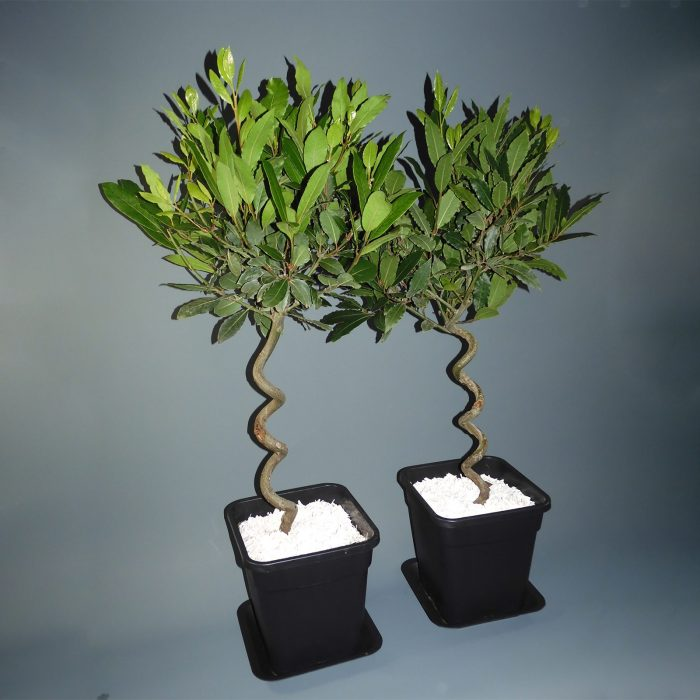 set-of-two-bay-leaf-trees