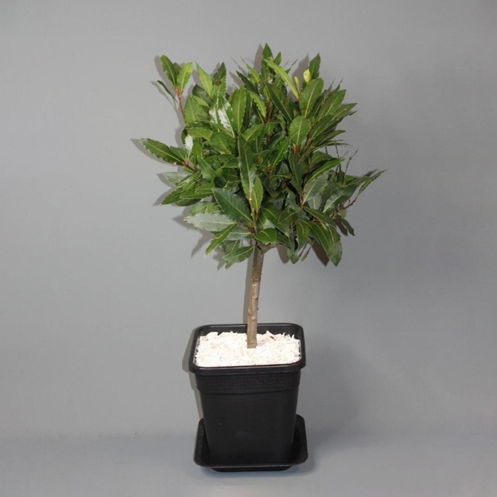 bay-leaf-plant