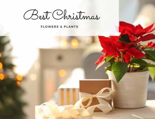 Best Christmas Flowers & Plants