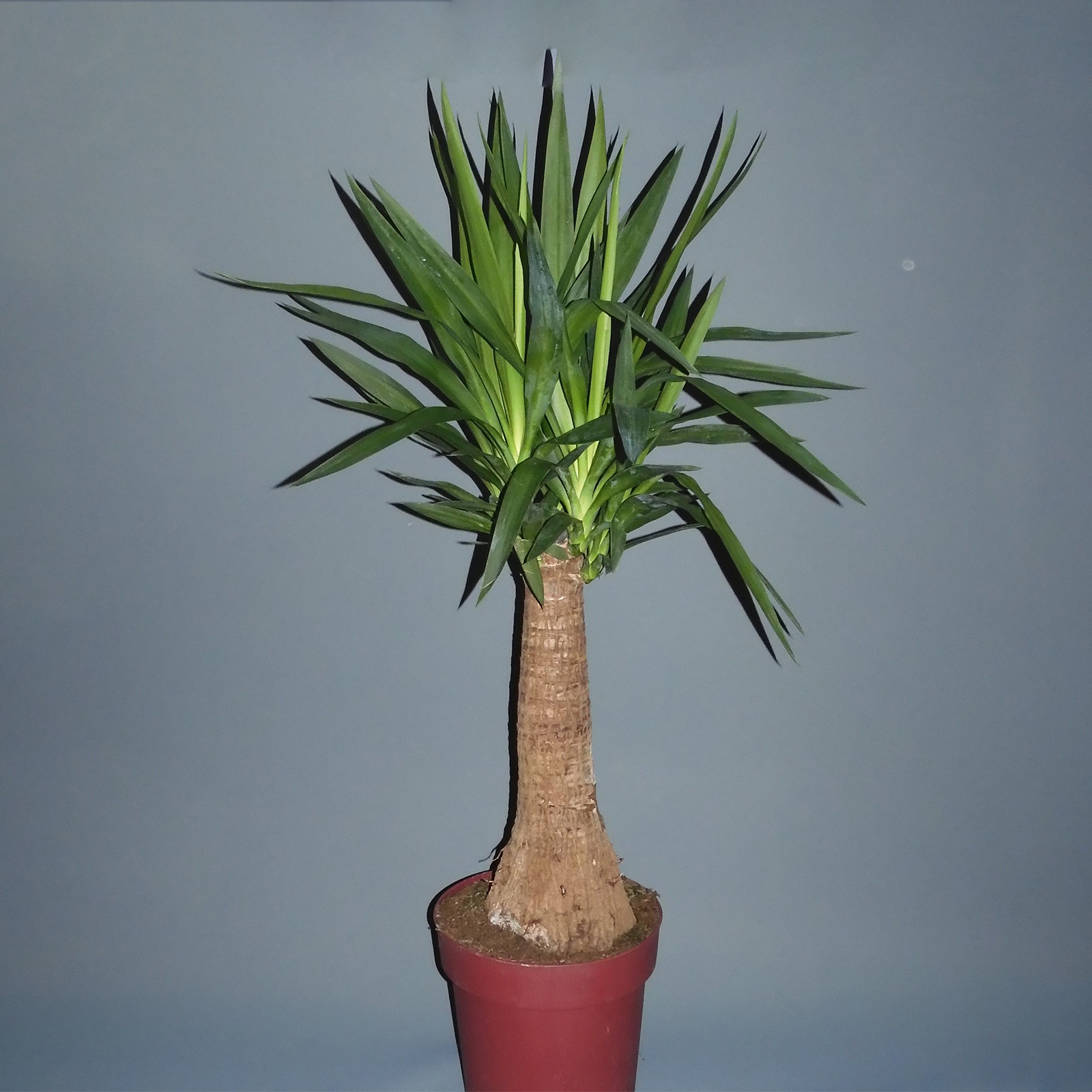yucca-tree-delivery
